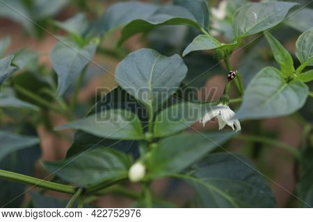 Green Colored Chili On Tree