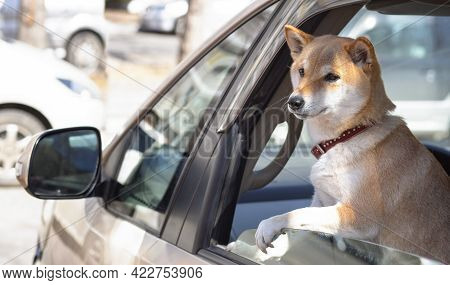 Adorable Red Shiba Inu Dog In A Red Collar Looks Out Of The Car Window On A Sunny Summer Day. Front