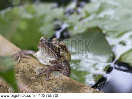 Tree Frogs Are Breeding At The Edge Of The Lotus Pond ,common Tree Frog Breeding By The Male Is Hugg