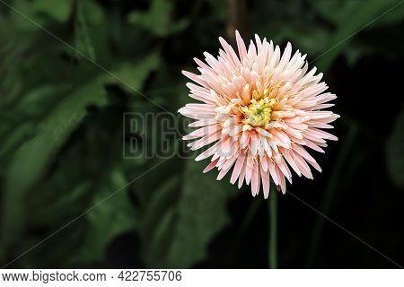 Close Up Of Light Pink Gerbera Flower On Dark Green Background
