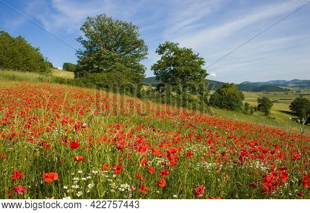 Panoramic View Of Mountain Field With Red Poppies In The Marche Region