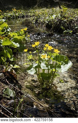 Blooming Marsh-marigold, Velky Sokol Gorge, Slovak Paradise National Park. Seasonal Natural Scene.