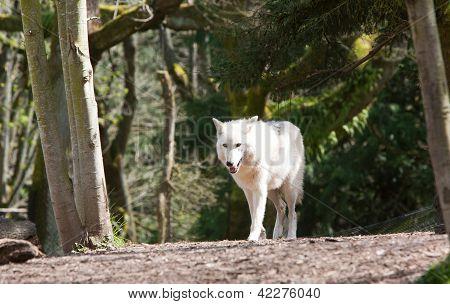 White Wolf Walking