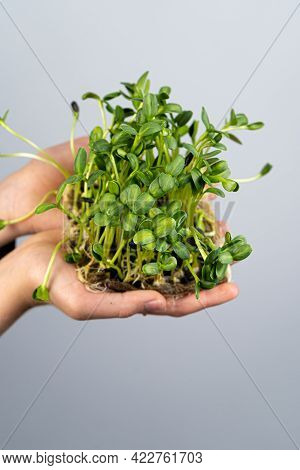 Hold The Microgreen In Hands. Sunflower Seed Cultivation. Sprouted Sprouts. Urban Gardening. Organic
