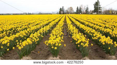 Yellow Daffodil Field