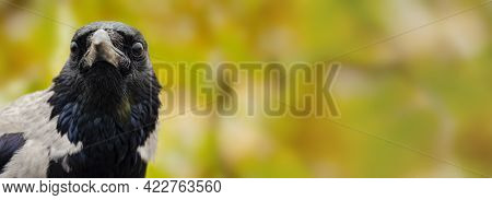 Head Shot Of A Wild Carrion Crow, Corvus Corone, Against A Green Background.