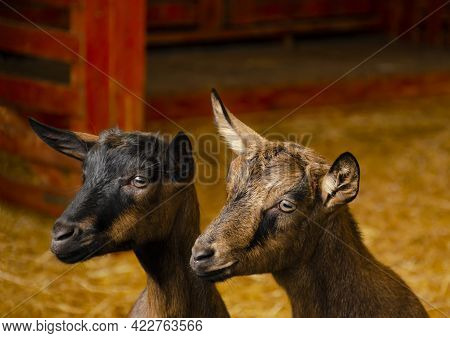 Close-up Photos Of Goats With Pensive Faces At The Corral Of Farm. Lovely Couple Little Black And Br