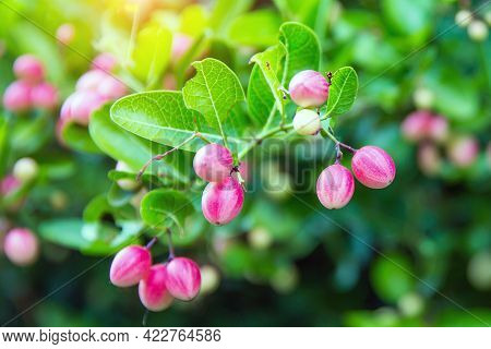 Fresh Mango Yawn Lime Booing Or Bengal Currant, Christs Thorn Or Carunda Or Karonda Sour Fruit In Th
