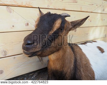 A Brown Goat With White Spots, Small Horns And Half-closed Eyes. Zoo Animal