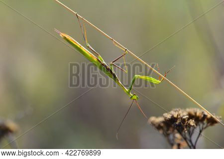 Mantis Religiosa. European Praying Mantis Sitting On A Dry Meadow Plant, In The Summer At Sunset. A