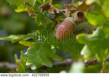 Oak Autumn Leaves And Acorns. Acorns. Close-up Of An Oak Branch With Green Leaves And Acorns In The