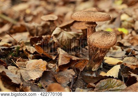 Mushrooms In The Autumn Forest In The Leaves. Group Armillaria Fungus, In Autumn Forest Background.