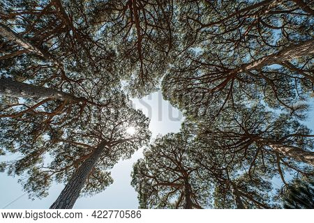 View Upwards Into The Canopy Of A Circle Of Pine Trees Under The Blue Skies And Sunshine Of Corsica