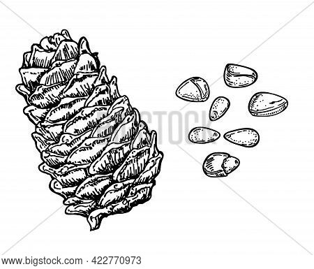 Ink Sketch Of Pine Nut. Pine Nuts And Cedar Cone. Hand Drawn Vector Illustration Isolated On White B