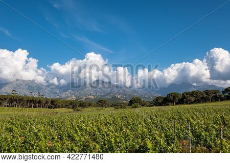 Rows Of Vines In A Vineyard At Calvi In The Balagne Region Of Corsica With Pine Trees And Mountains