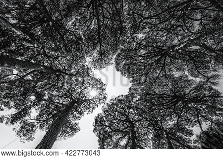 Black And White View Upwards Into The Canopy Of A Circle Of Pine Trees Under The Blue Skies And Suns