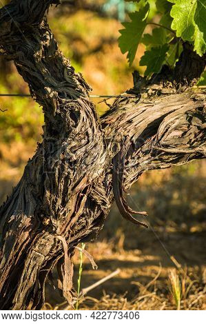 Twisted And Gnarly Stem Of A Vine In A Vineyard At Calvi In The Balagne Region Of Corsica