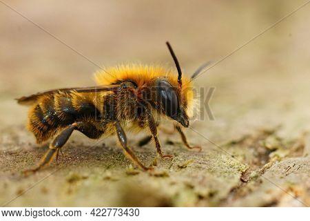 Lateral Closeup Of A Bronw Hairy Male Jersey Mason Bee, Osmia Niveata