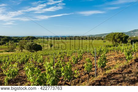 Rows Of Vines In A Vineyard At Calvi In The Balagne Region Of Corsica With Pine Trees And The Medite