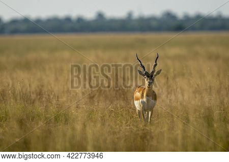 Long Horned Male Blackbuck Or Antilope Cervicapra Or Indian Antelope Head On With Eye Contact In Gra