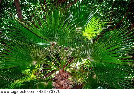 Bright Green Natural Fan Palm Foliage Texture. Dark Fresh Leaves Of Tropical Plant Close-up