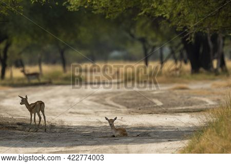 Blackbuck Or Antilope Cervicapra Or Indian Antelope Fawn Resting On Forest Track At Tal Chhapar Sanc