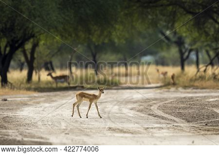 Blackbuck Or Antilope Cervicapra Or Indian Antelope Fawn At Tal Chhapar Sanctuary Churu Rajasthan In