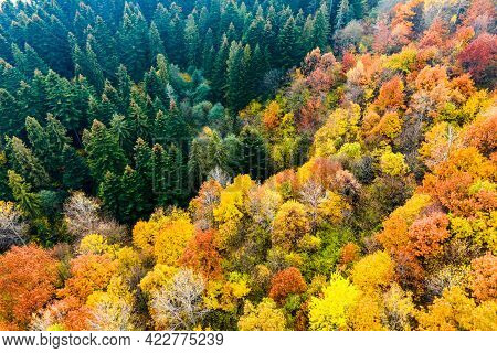 Aerial View Of Dense Green Pine Forest With Canopies Of Spruce Trees And Colorful Lush Foliage In Au