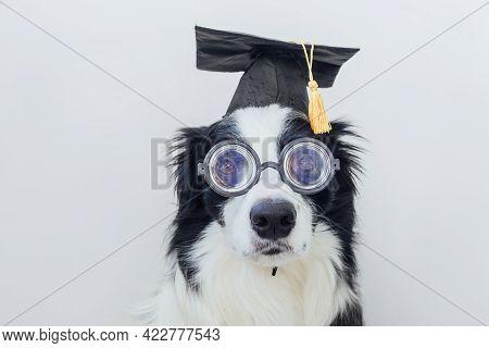 Funny Puppy Dog Border Collie With Graduation Cap Eyeglasses Isolated On White Background. Dog Gazin
