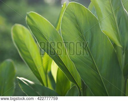 Closeup Nature View Of Green Leaf In Garden At Summer Under Sunlight. Natural Green Plants Landscape