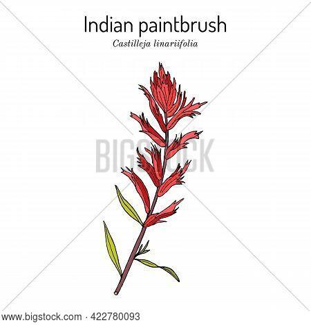 Indian Paintbrush Castilleja Linariaefolia , Official State Flower Of Wyoming. Botanical Hand Drawn