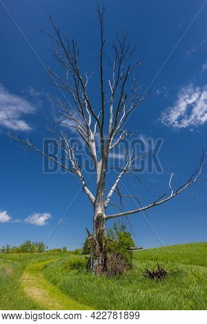 Barren Tree On A Grassy Hill With A Trail