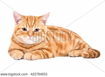 Cute Kitten Scottish Straight  Lying Isolated On White Background