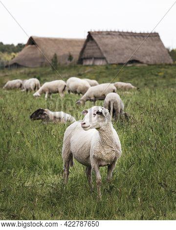 Vlaardingen, The Netherlands - June 3, 2021: Herd Of Sheep In Front Of The Reconstructed Historic Fa