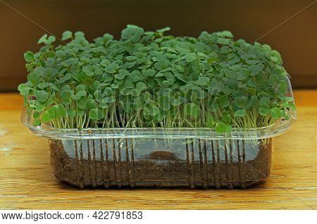 Rocket Plant Microgreens On Wooden Shelf Inside Home Interior
