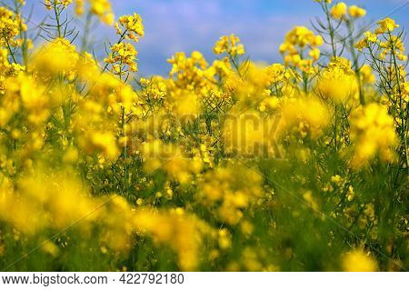 Field With Flowering Rapeseed In Spring Time.