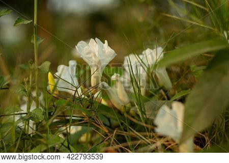The Field Bindweed Is A Trailing Or Creeping Plant And The White Flower Has Square-like Leaves With