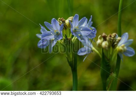 The Lily Of The Nile Flowers (agapanthus) Attracts All The Attention It's A Magnificent Summer Flowe