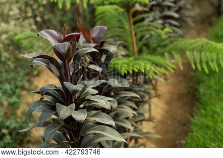 The Tongue Orchid Or Broadleaf Lady Palm Dark Red Color Leaf Is A Multi-stemmed Palm Plant That Grow