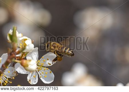 Flying Honey Bee Collecting Bee Pollen From White Blossom. Bee Collecting Honey.
