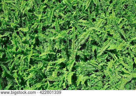 Texture Of The Leaf And Bush Of Fern Background