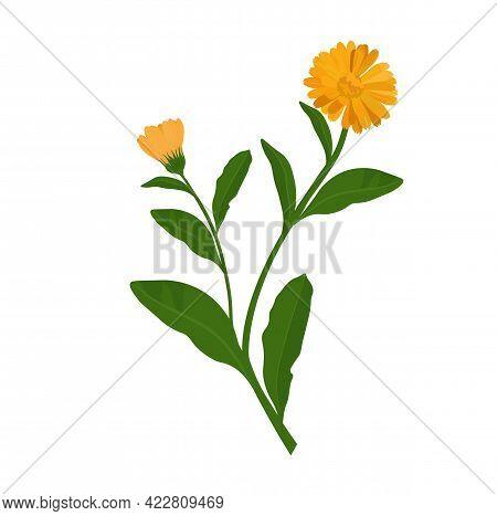 Calendula Vector Stock Illustration. Yellow Marigold Flower Buds On A Green Stem. Pharmacy Medicinal