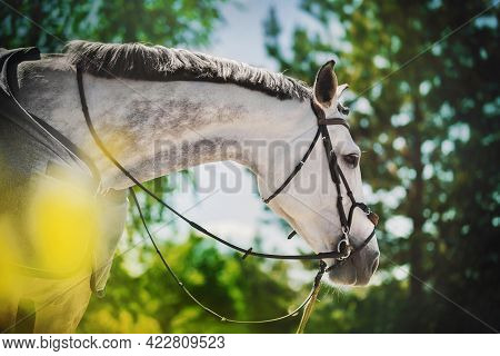 Portrait Of A Beautiful Dappled Gray Horse With A Trimmed Mane, A Bridle On Its Muzzle And A Gray Ho