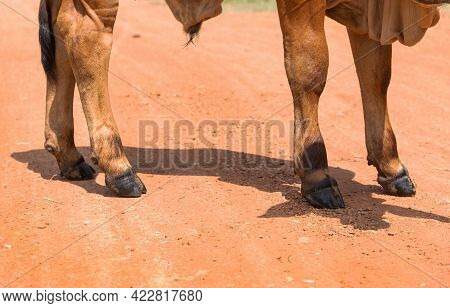 Cow's Legs On The Farm, The Legs Of A Cow Standing, Cow's Legs , Four Foot Of Cow, Animal Legs