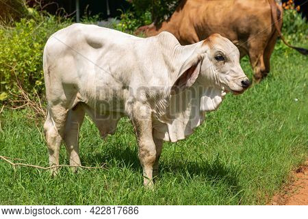 Cows, Calf Eating Hay, Cow Eating Grass, Close Up On Cow Farm, Agriculture Industry Concept.