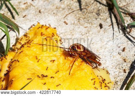 Ants Swarming In Dead Cockroaches On The Floor, Ants Eat Dead Cockroach,