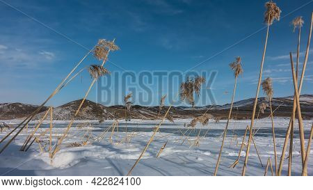 Dry Grass With Long Stems And Fluffy Spikelets Bent Over The Surface Of The Snow. In The Background,