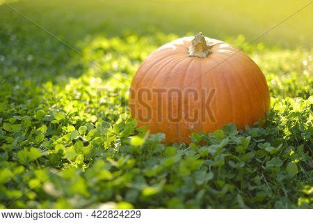 Pumpkin In Green Clover In Warm Sunlight. Thanksgiving And Halloween.autumn Harvest .autumn Abundanc