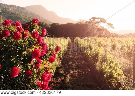 Red Roses Blooming In The Evening Sun In A Vineyard In Corsica With Vines And Hills In The Backgroun