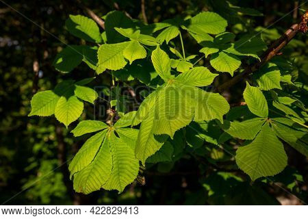 Green Chestnut Leaves In Beautiful Light Summer